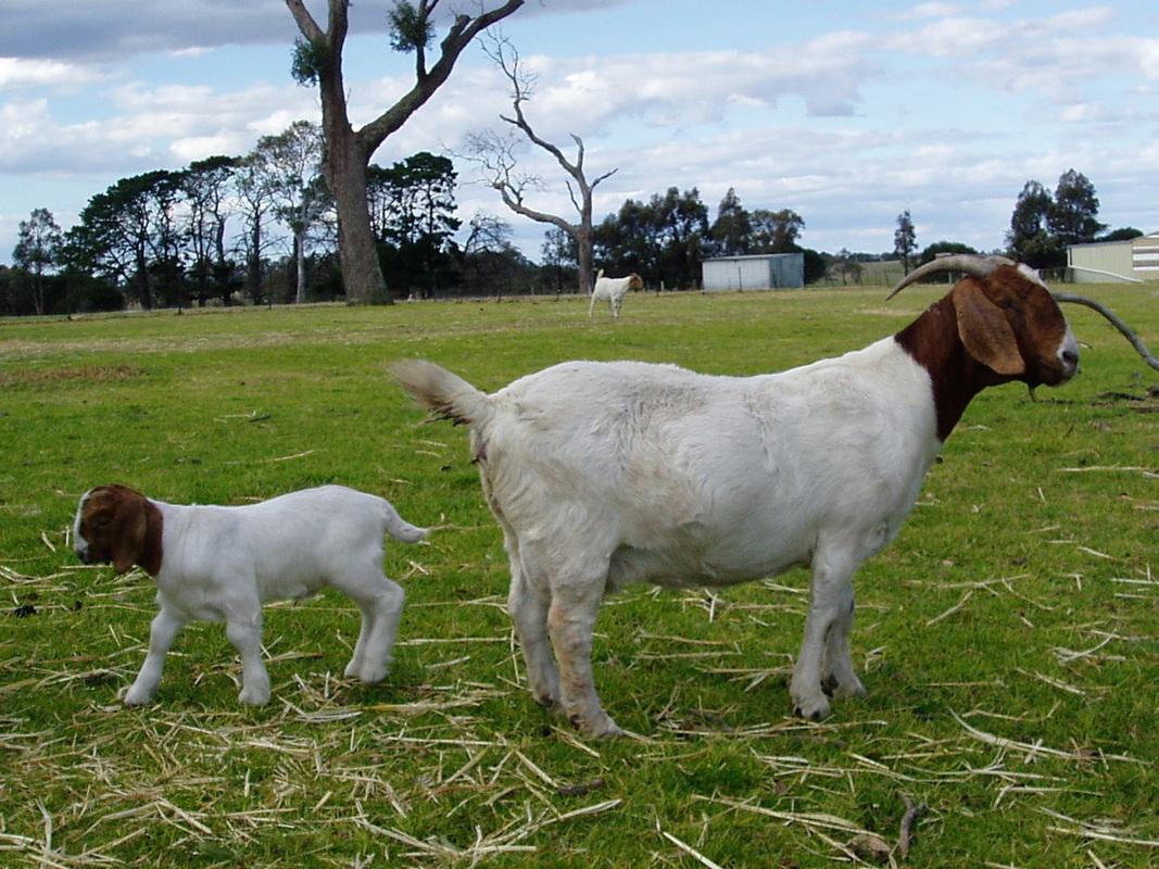 Safehaven Boer Goats  Boer Goats For Sale
